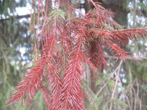 Красные елки