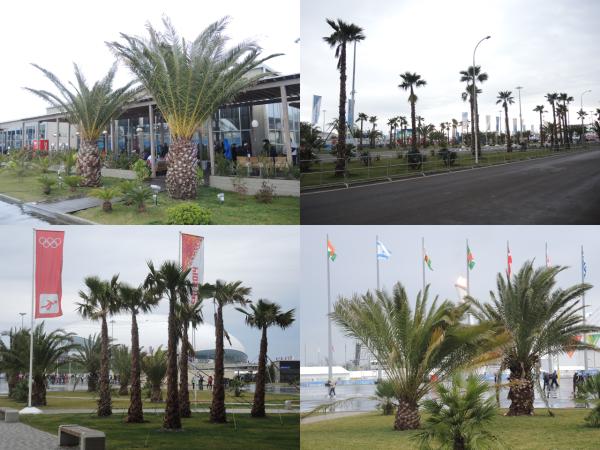 Экзотические пальмы в Олимпийском парке Адлера