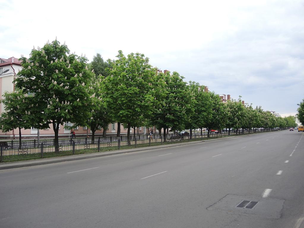 Каштаны на бульваре Шевченко в Бресте